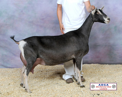 Maternal Grand-Dam: SGCH Redwood Hills X-Rated Rima 11*M <br/> 2012 ADGA National Champion
